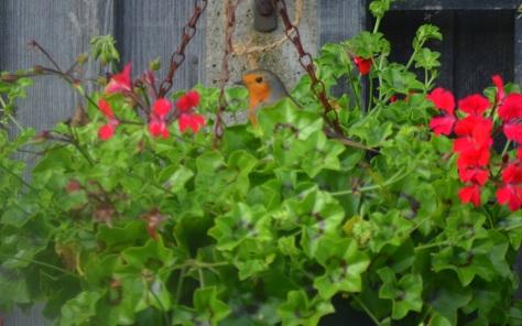 Birds in the garden Alfreton 2017 Gerry Molumby   (1).JPG